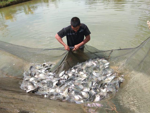 7 langkah Sukses Ternak Ikan Nila