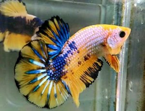 Cara Meracik Daun Ketapang Dan Manfaat Bagi Ikan Cupang Agrozine