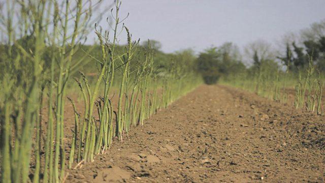 Cara Merawat Asparagus yang Tepat