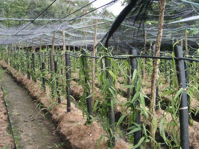 Pemula dalam menanam vanili,
