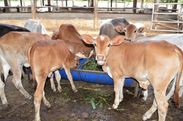 upaya peningkatan populasi sapi potong