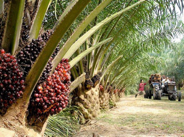 jenis-jenis kelapa sawit