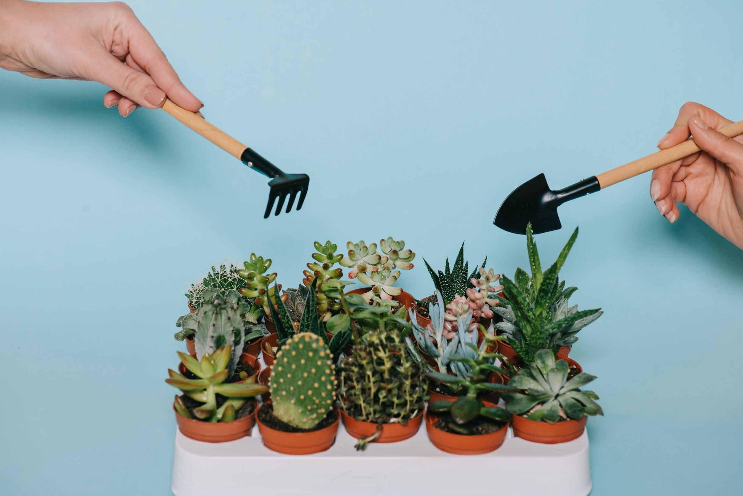 tips merawat tanaman sukulen