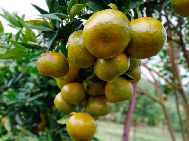 buah jeruk lokal