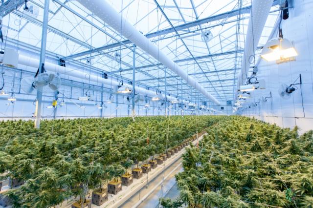 pencahayaan LED dalam budidaya tanaman ganja