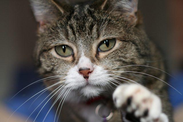 penyakit rabies pada kucing