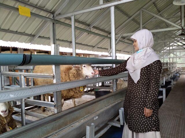 Kandang Domba Anti Bau