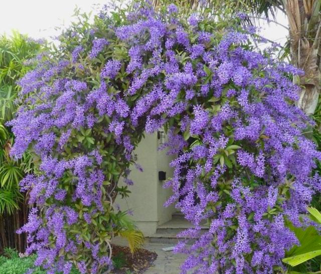 tanaman rambat untuk dekorasi