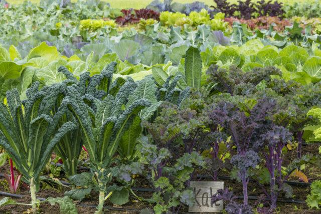 cara budidaya tanaman kale