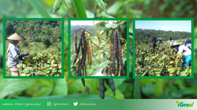 produktivitas komoditas kacang hijau