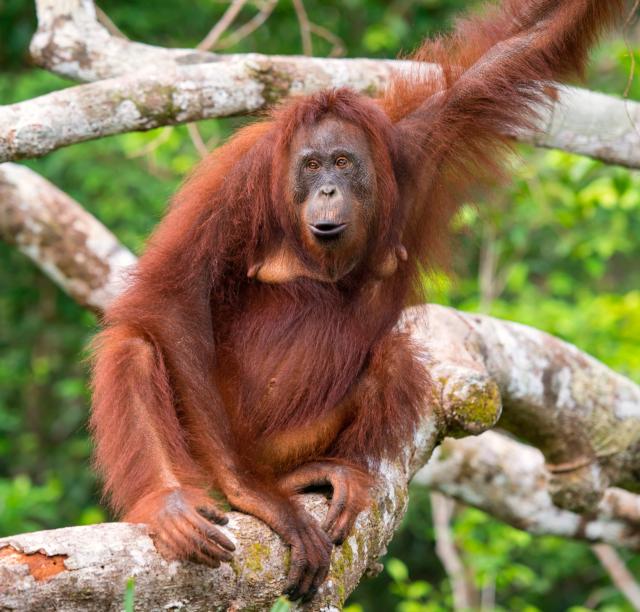 Keterampilan Bertahan Hidup Orangutan