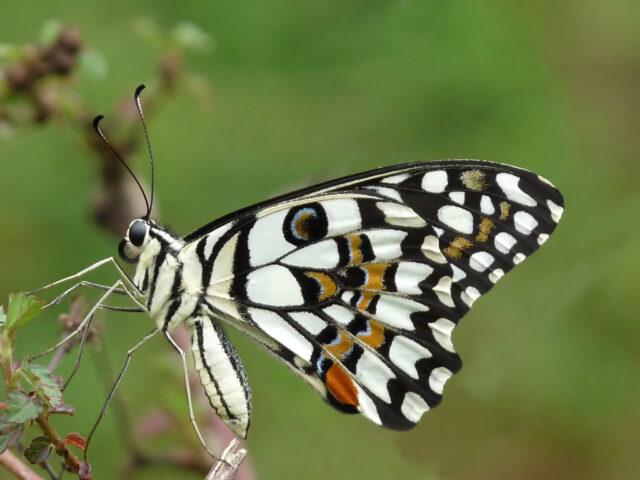 rahasia sayap kupu-kupu besar