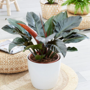 Philodendron imperial red cardinal