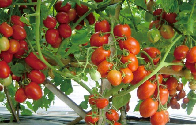 produktivitas tomat