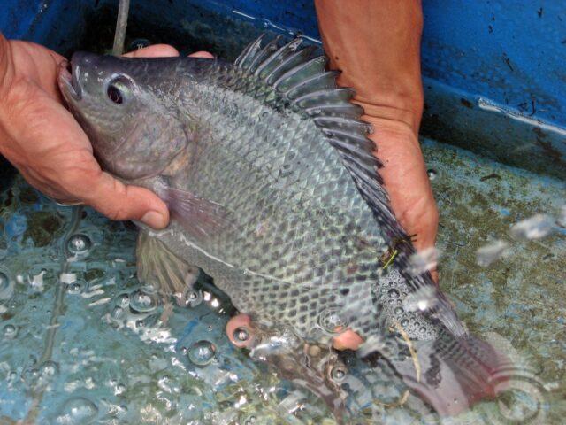 penyakit yang menyerang ikan nila