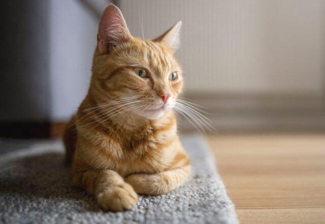 tanda kucing betina yang sedang birahi