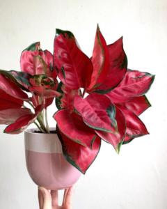 tips daun aglaonema merah merona