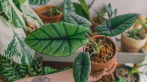 penyebab daun alocasia kuning dan kering